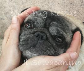 Lovely Il Carlino Non Eu0027 Un Cane ..adatto A Tutti !   Leonu0027s Pug Rescue  Salvacarlino
