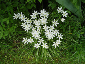ORNITOGALO  STAR OF BETHLEHEM)