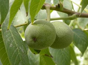 juglans regia - frutti