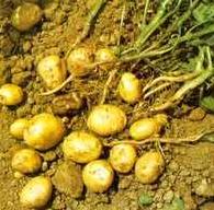 patata solanum tuberosum