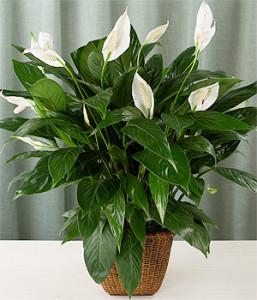 Spathiphyllum-wallisii-madera