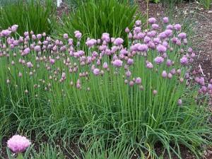 cipolla pianta