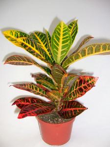 croton-pianta